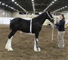 Windcharger Epic where he was Supreme champion Shire Foal at 2017 Ponoka Foal show